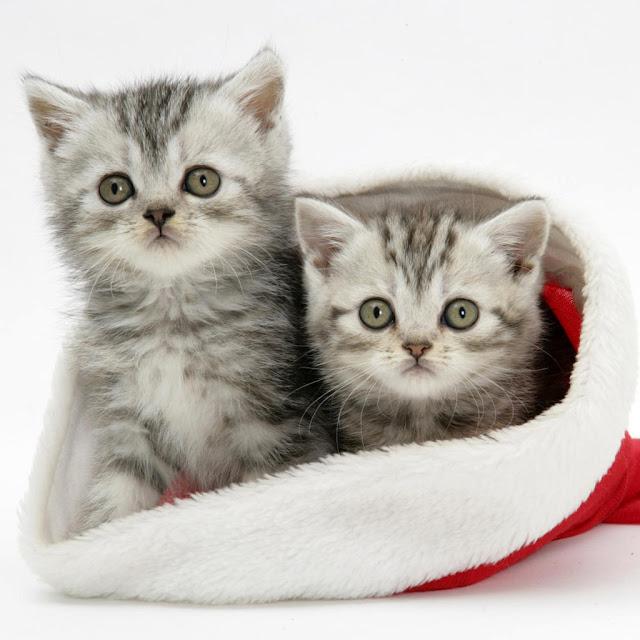 Ipad wallpapers free download christmas pets ipad - Kitten wallpaper for ipad ...