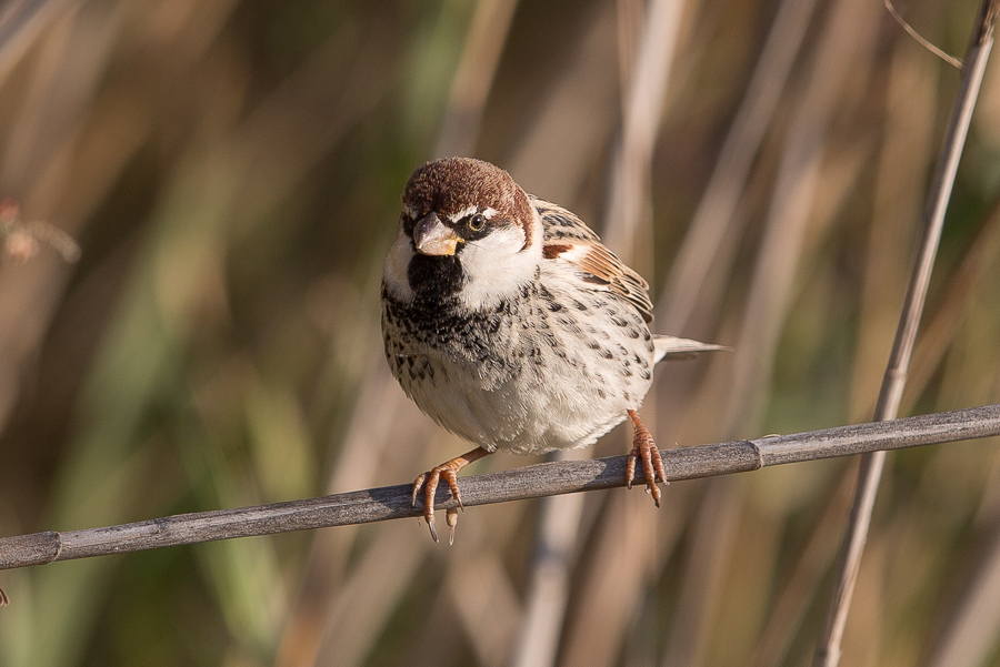 Spanish Sparrow - male