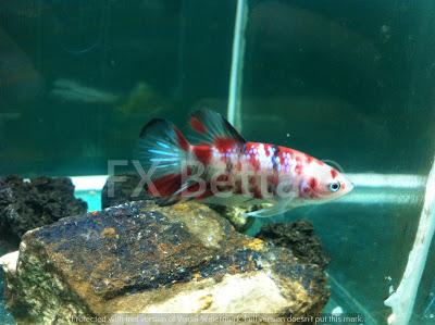 Jual Ikan Cupang Plakat Koi Murah - Agen distributor ...