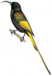 Drepanorhynchus reichenowi