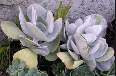 Cotyledon Undulata Cotyledon orbiculata Plant image