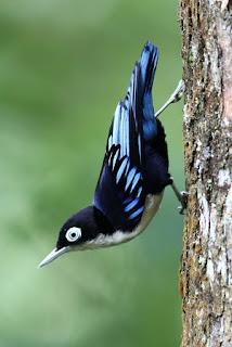 Rambatan Loreng, Si Burung Cantik Suara Mirip Cililin