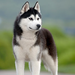 The Siberian Husky Pets Cute And Docile