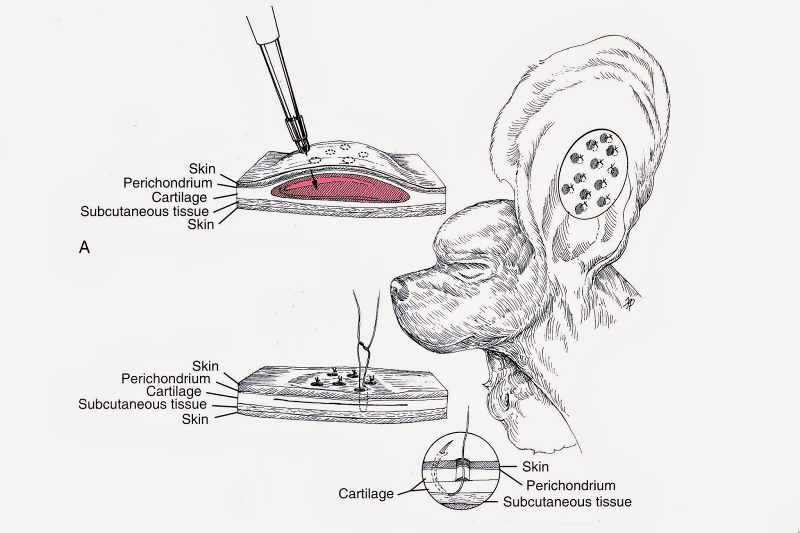 Veterinary Key Points: The Punch Technique for Aural (Ear