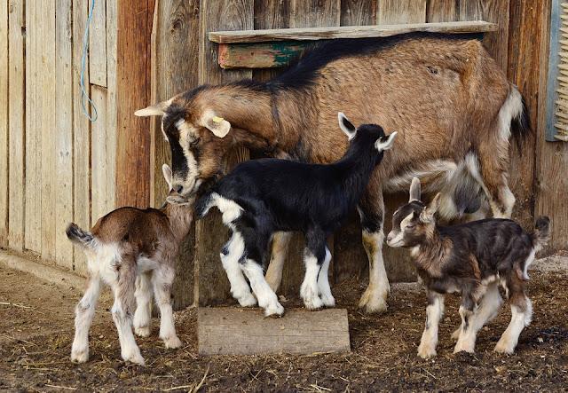 Worte die Ziege beinhalten, Aktivierungsideen Ziege, Seniorenarbeit Ziege, Beschäftigungsideen