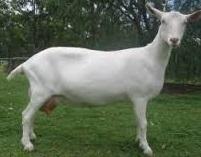 15 jenis jenis kambing yang cocok untuk dibudidayakan