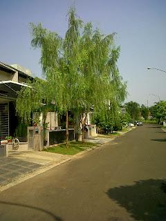Gambar pohon liang liu harga paling murah