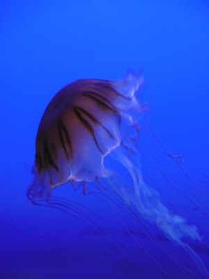 Méduses, aquarium de la Rochelle, 2, malooka