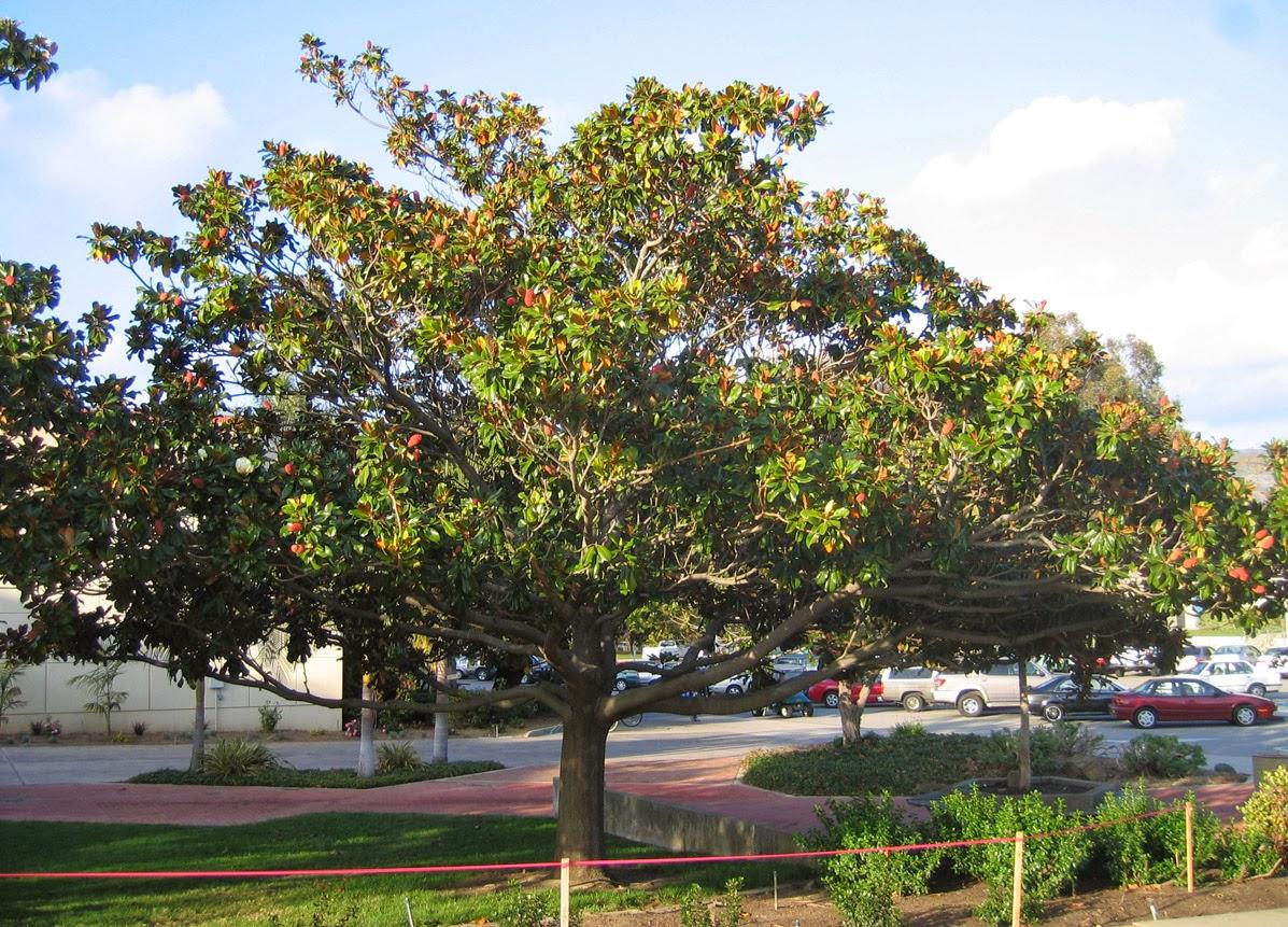 Peces y plantas ornamentales magnolia grandiflora magnolio - Cuidados del magnolio ...