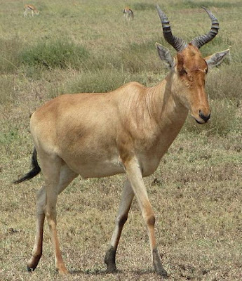 Hartebeest - Animals Start With Letter H