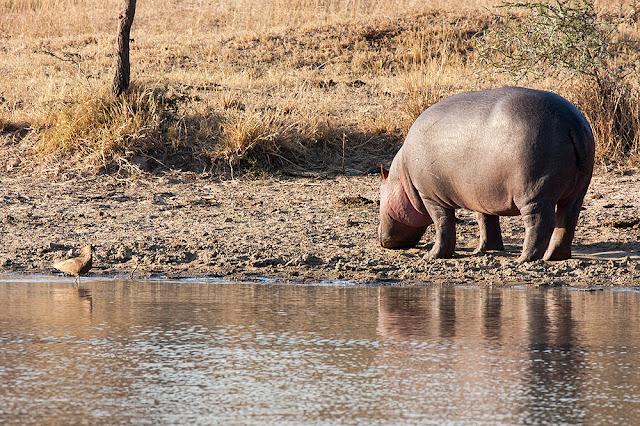 ippopotamo cucciolo  kruger safari sud africa