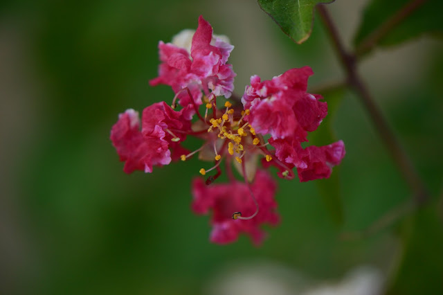 "Lagerstroemia indica ""Dynamite"", small sunny garden"