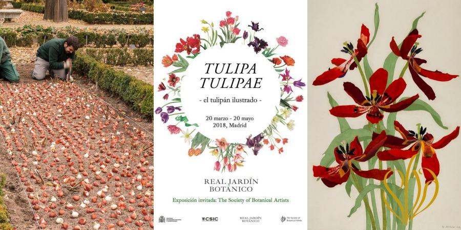 recorrido histórico a través de la ilustración botánica del tulipán (Tulipa)