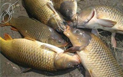 cá chép đồng