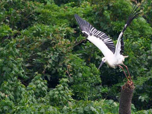 bird, Oriental Stork, flight, Kourijima, Okinawa