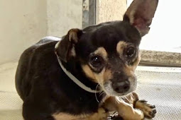 Senior chihuahua surrendered at 11, openly wept when owner left him at deadly Carson like trash