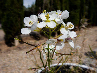 Diplotaxis erucoides, Brassicaceae