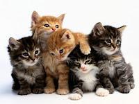 Pecinta kucing wajib baca fakta ini | Fakta-Fakta kucing yang menarik dan foto-foto kucing yang cantik