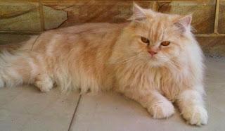 Cara Menjinakkan Kucing Persia Liar Agar Tidak Nakal