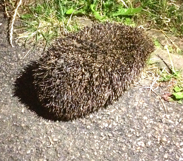 hedgehog in UK