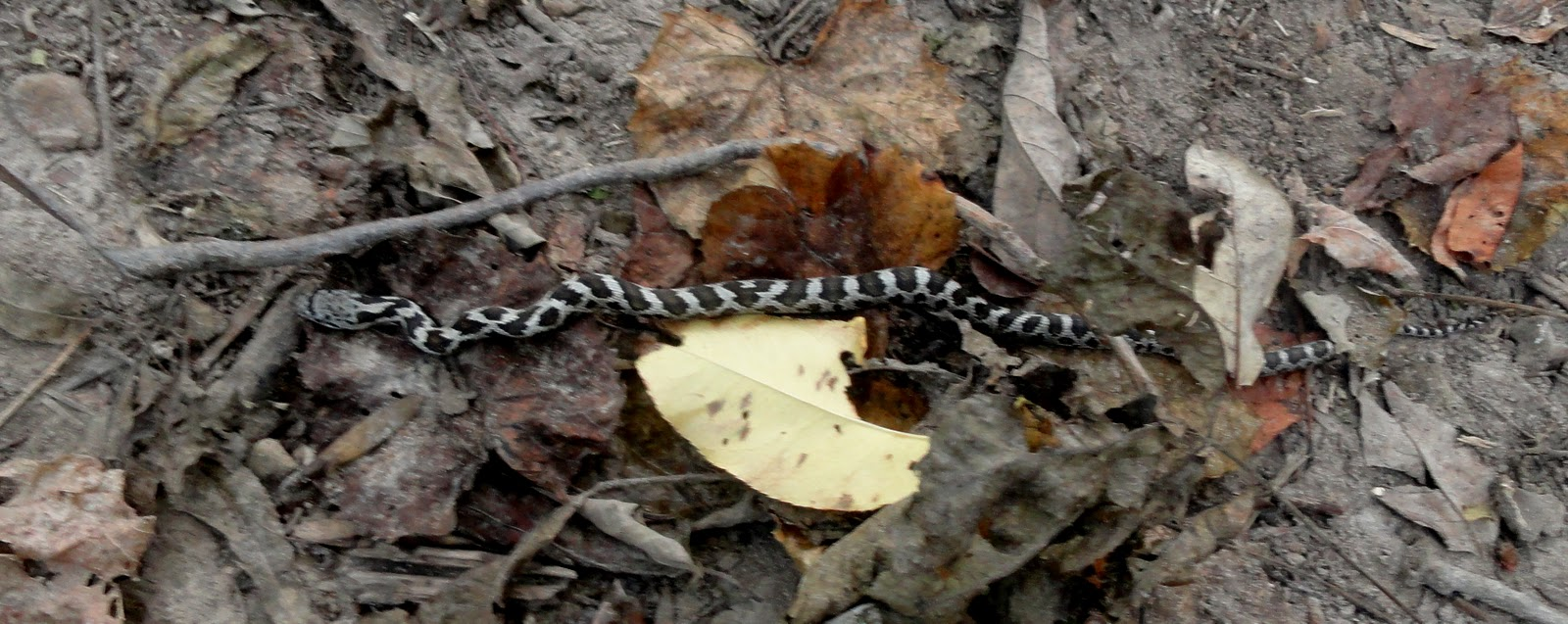 Life At The Blue Rock Ranch Young Hognose Snake