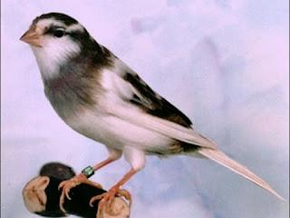 Jual Beli Burung Kenari Kota Bandung
