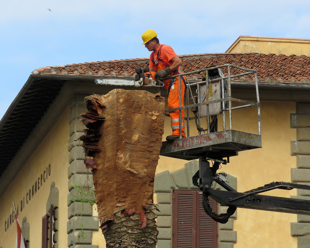 The cutting down of another tree infested by the red palm weevil, Piazza del Municipio, Livorno