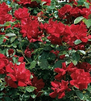 trandafirul-don-juan