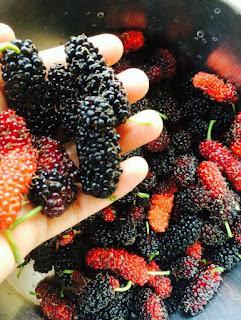 Cara Penjagaan Pokok Mulberry