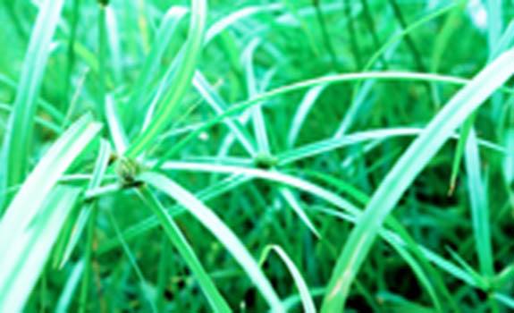 Morfologi Umum Tumbuhan Rumput