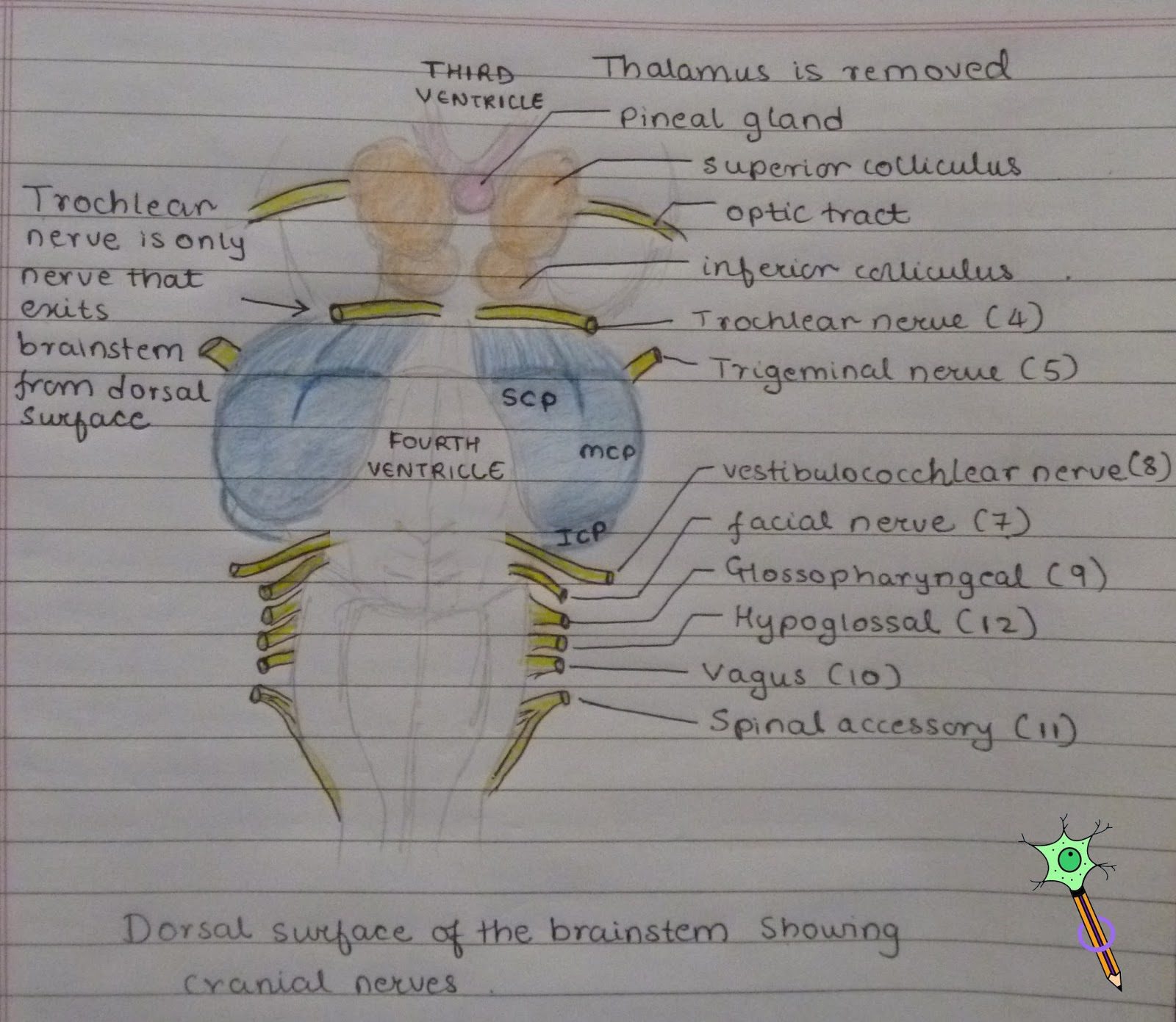 Medicowesome Ventral And Dorsal View Of The Brainstem