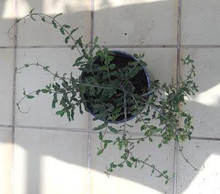 cactus trepador