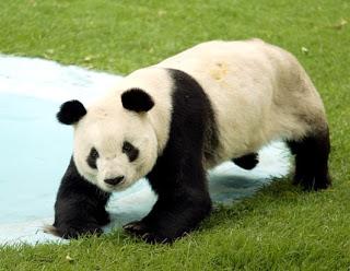 Todo sobre los osos panda gigantes - Toda la información
