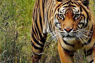 النمر في المنام ◁ تفسير حلم النمور تطاردني وتعضني