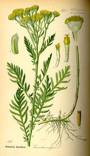 An old colored scientific sketch of Wild Tansy or Tanacetum vulgare,.  A tall looking plant with fern like leaves growing out from the stem almost to the top.  The yellow flowers grow in a cluster at the top.