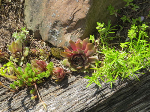 mixed rock garden plants