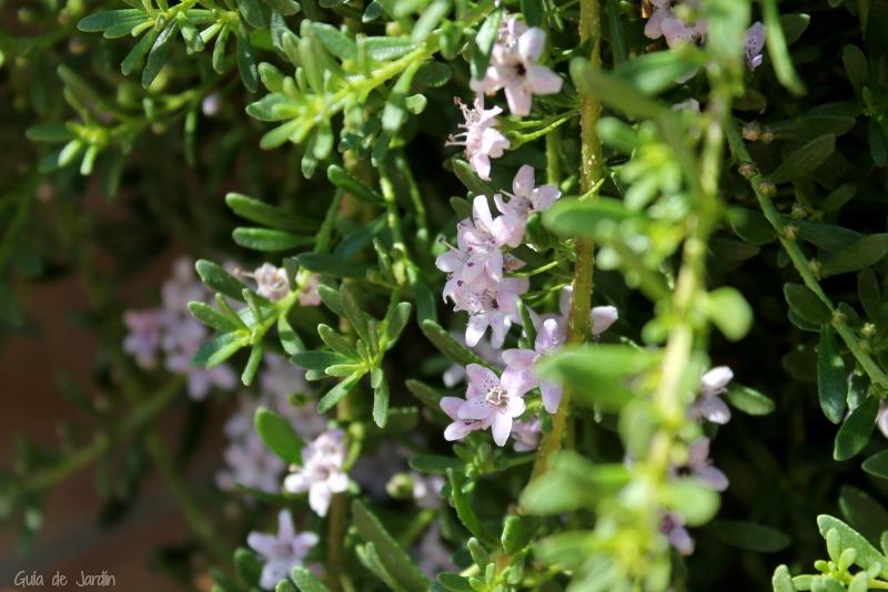 Flores de Mioporum parvifolium