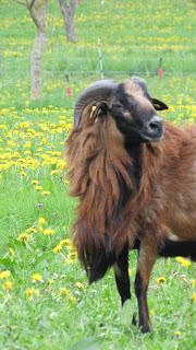 mouton cameroun descriptif race bélier