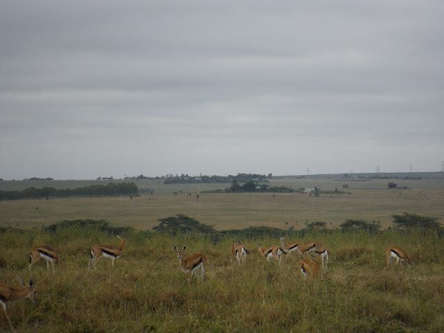 Nairobi National Park, Gacelas de Thompson