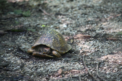 Box turtle on the move at Pere Marquette State Park in Illinois