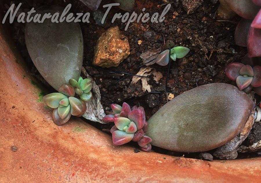 Hojas de la planta Crepúculo formando nuevas rosetas, x Graptosedum Vera Higgins