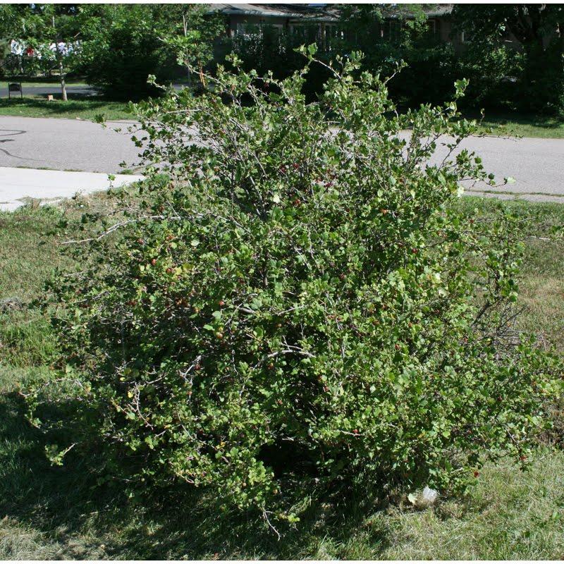 twenty pound tabby: Gooseberries