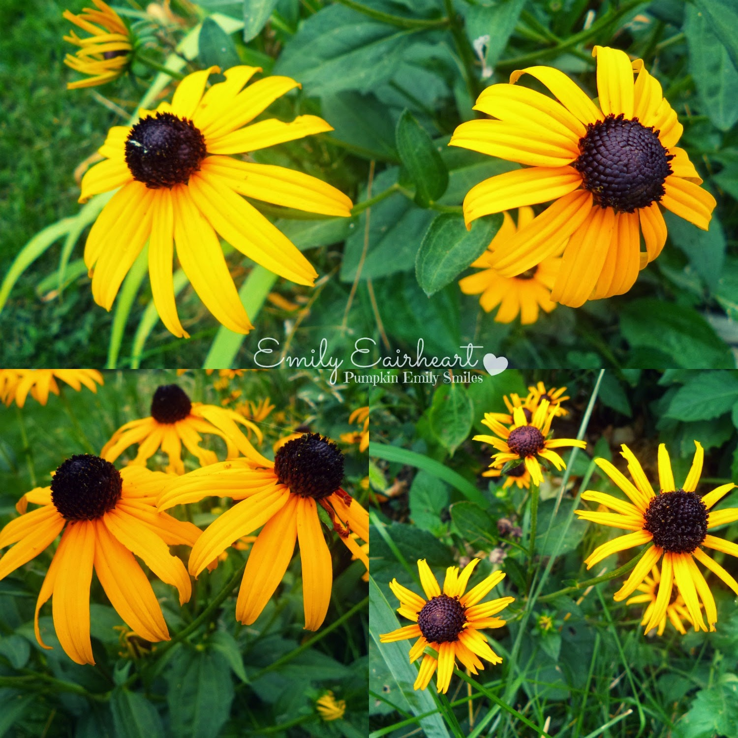 Three images of yellow Coneflowers or Black Eyed Susans