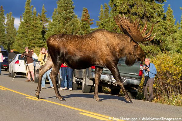 Guy Discovers Gigantic Moose Wandering The Streets Of Alaska At Midnight