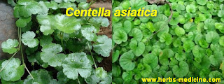 Hemorrhoids use Centella asiatica