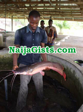 steal cat fish abuja