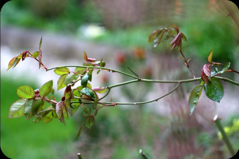 Rosenzweig im Garten, Frühjahr 2016 | Arthurs Tochter kocht von Astrid Paul