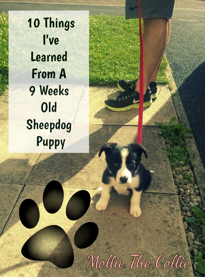 10 Things I've Learned From A 9 Weeks Old Sheepdog Puppy