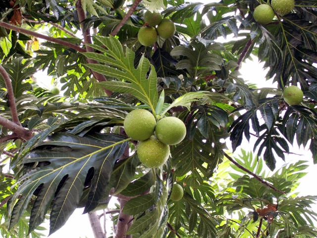 runrol974 arbre pain fruit pain flore fruit le de la r union. Black Bedroom Furniture Sets. Home Design Ideas