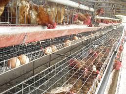 cara membuat akandang ayam petelur sederhana